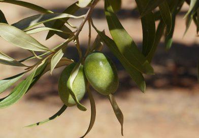Olive Farm Zagro Australia